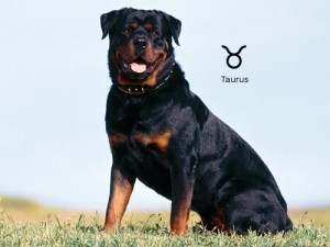 Собачий гороскоп: собака-Телец
