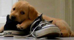 Собака грызет обувь