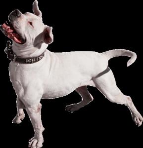 Собачий гороскоп: собака-Овен