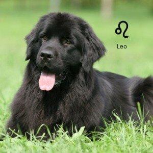 Собачий гороскоп: собака-Лев