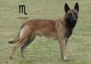 Собачий гороскоп: собака-Скорпион