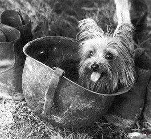 Йоркширский терьер Смоки – герой Второй Мировой войны