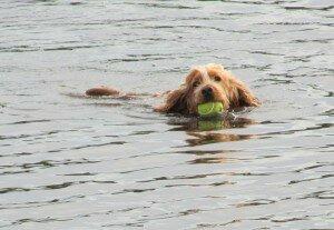 Плавание для собак: техника безопасности