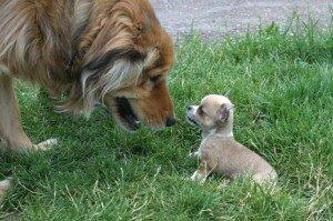 Щенок и взрослые собаки: правила знакомства и общения