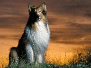 Колли (шотландская овчарка): история породы, характер колли, стандарт колли
