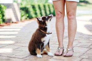 С чего начинать воспитание щенка: когда начинать и чему учить