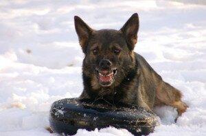 Доминантная агрессия у собак: причины возникновения, профилактика и способы коррекции доминантного поведения у собак
