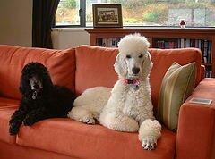 Топ-5 лучших средних пород собак для городской квартиры