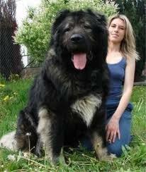 Самые крупные породы собак (ФОТО)