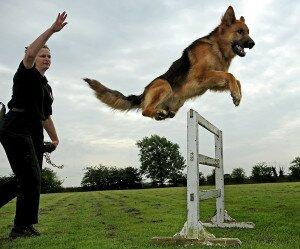 Как научить собаку преодолевать препятствия по команде «Барьер»