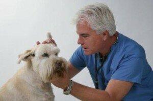 Ушной клещ у собак (ушная чесотка, отодектоз собак): симптомы, лечение, профилактика