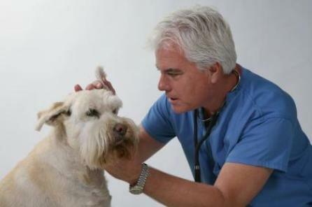 Пироплазмоз у собак как лечить в домашних условиях