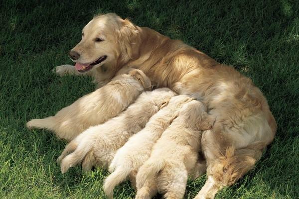 Кормление собаки в период лактации (выкармливания щенков)