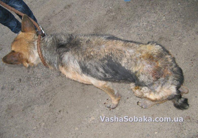 Кожные заболевания у собак: причины, лечение и профилактика