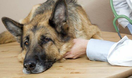 Запор у собаки: причины, лечение, профилактика