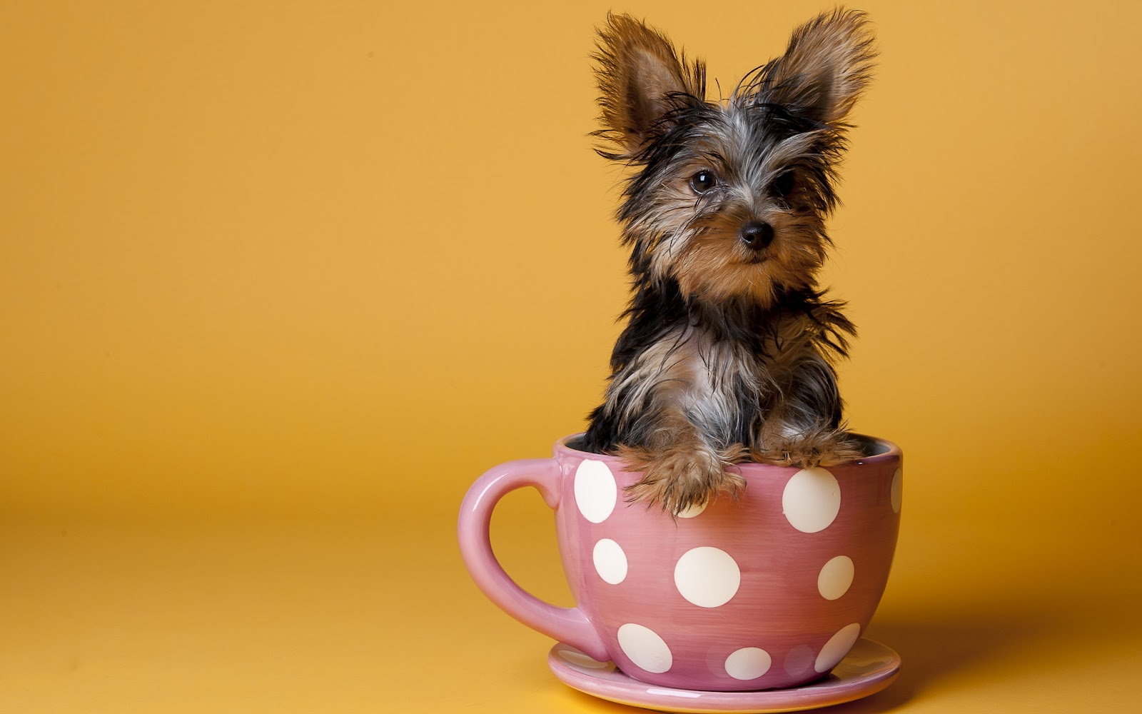Самые маленькие породы собак (ФОТО)