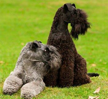 Керри-блю-терьер - собака для аллергика