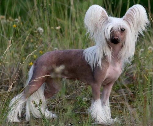 Китайская хохлатая - собака для аллергика