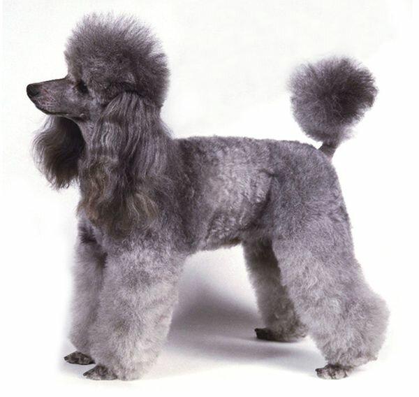 Пудель - порода собак для аллергиков