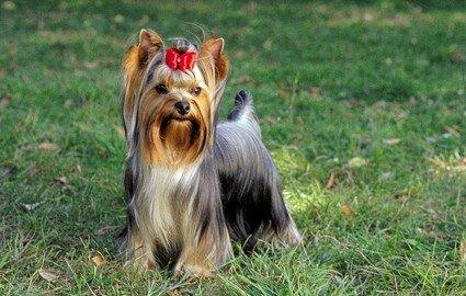 Йоркширский терьер - собака для аллергика