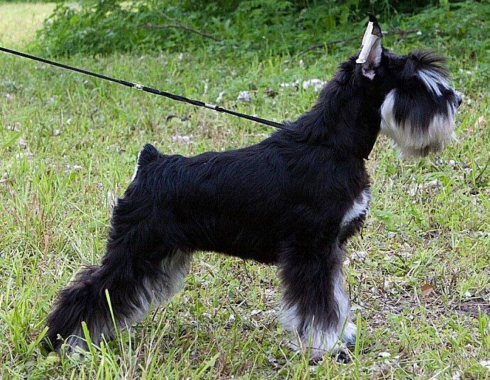 Цвергшнауцер - собака для аллергика