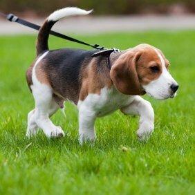 Как приучить щенка или собаку к поводку