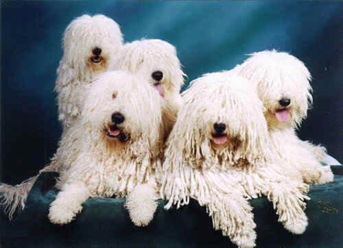 комондор щенки