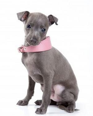 левретка щенок