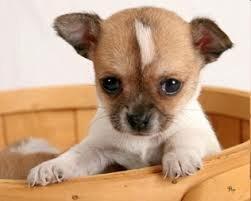 Особенности содержания мелких и карликовых пород собак