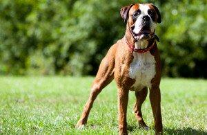 самые добрые собаки - боксер
