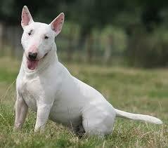 самые добрые собаки - бультерьер