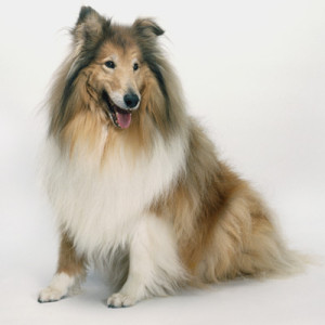 самые добрые собаки - колли