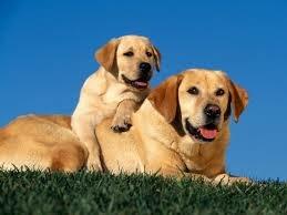 самые добрые собаки - лабрадор ретривер