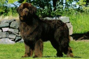 самые добрые собаки - ньюфаундленд