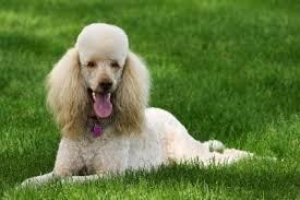 самые добрые собаки - пудель