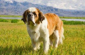 самые добрые собаки - сенбернар