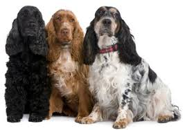 самые добрые собаки - коккер спаниель
