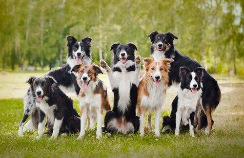 породистая собака без документов