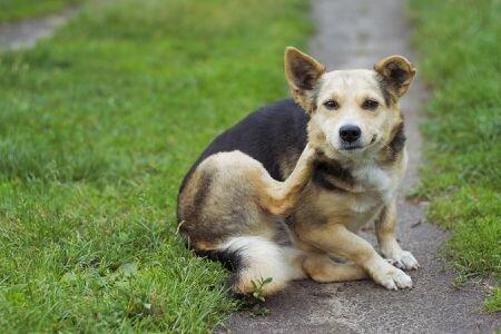 краснеет кожа у собаки