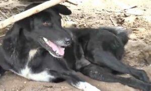 В Таиланде трехлапый пес-инвалид спас заживо погребенного младенца
